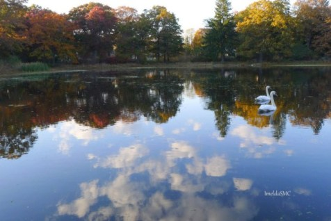 Swans reflected on an autumn pond